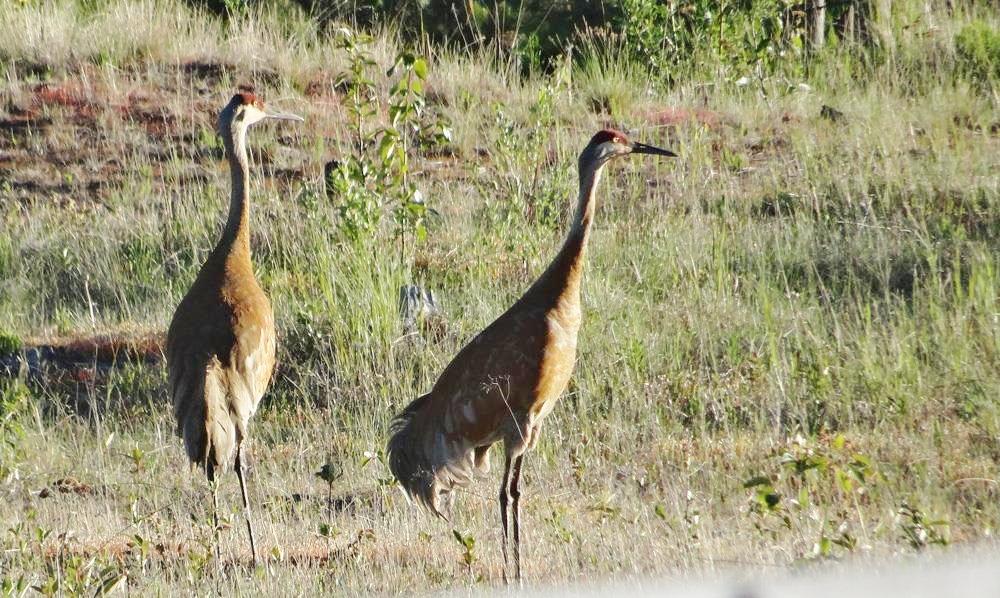 Dieter - Sandhill cranes